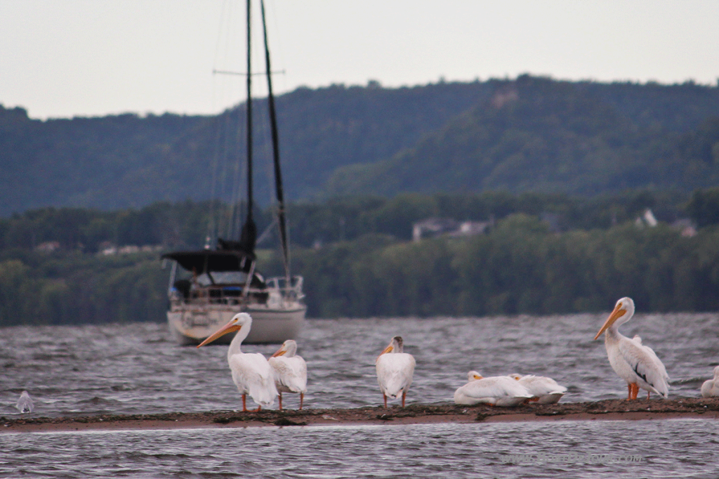 Pelicans and sailboat